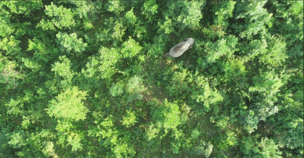 drone successfully traces elephant which killed 5 people in assam