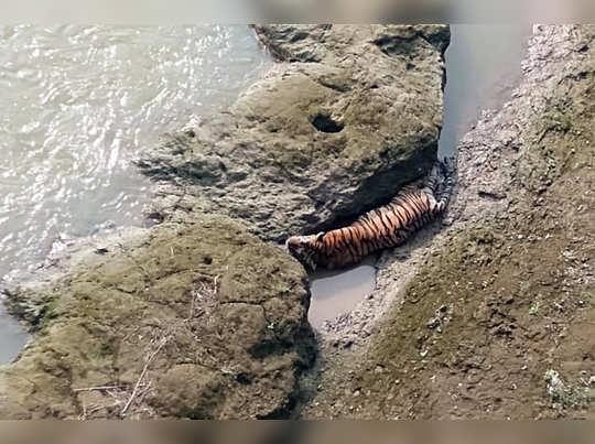 दगडाच्या कपारीत अडकला वाघ