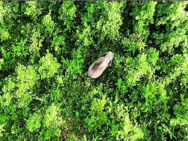 ड्रोन से लिया गया जंगली हाथी का फोटो