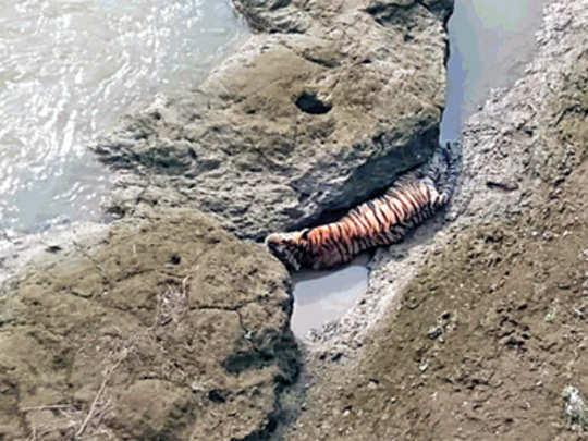chandrapur--tiger-dead