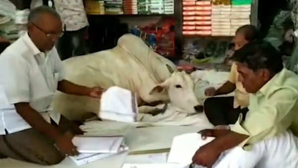 stray cow visits this cloth store regularly