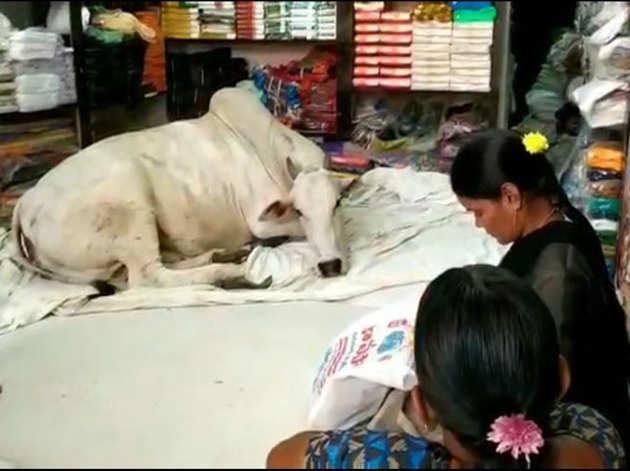 गाय रोज कुछ घंटे आराम करने दुकान में आती है