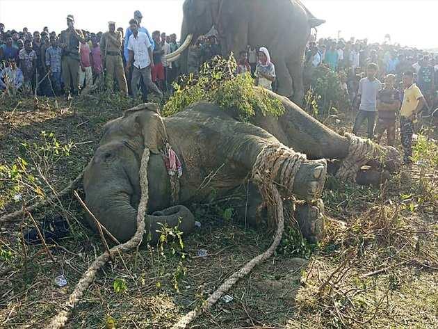 आखिरकार पकड़ा गया जंगली हाथी 'लादेन'
