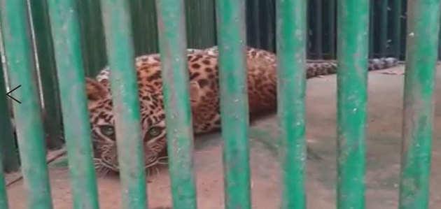 देहरादून में रिहायशी मकान में घुसा तेंदुआ, घंटों बाद सुरक्षित निकाला गया