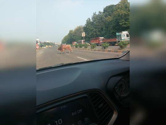 मोकाट जनावरांमुळे वाहतूक अवरुद्ध