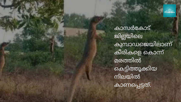 cruelty to animals is continuing after cat and dog mongoose hanged to death in kerala