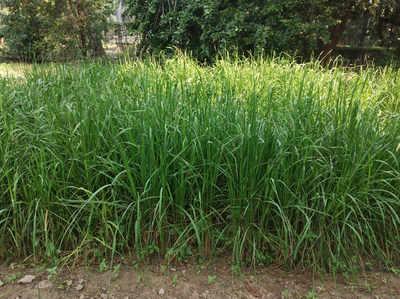 बीएचयू में उगाया गया काला जोहा