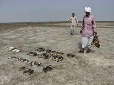 कई प्रवासी पक्षियों की हुई मौत