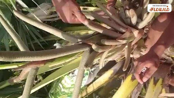 palm tree palm wine taking video