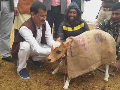 Image result for uttar pradesh cow coat