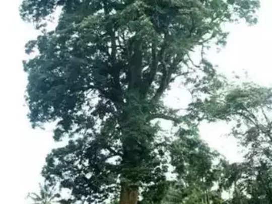 ठाण्यातील हजार झाडे संकटात