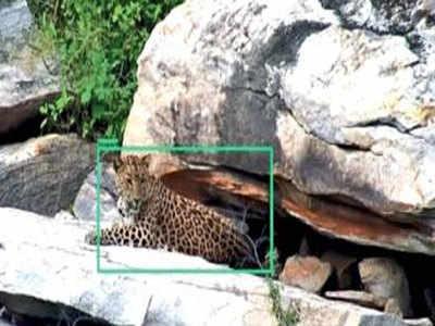 सफारी पार्क में कैमरे में कैद तेंदुआ