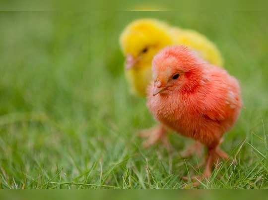 chicks-3971179_960_720