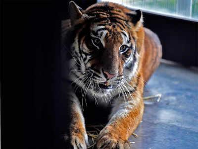 देश में बढ़ रही है बाघों की संख्या