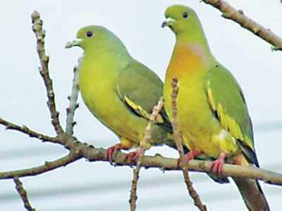नारंगी गले वाले हरे कबूतर
