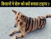 विचित्र किंतु सत्य: इस वजह से किसानों ने अपने शेरू को बनाया टाइगर!