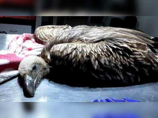 जखमी गिधाडाचा उपचारावेळी मृत्यू