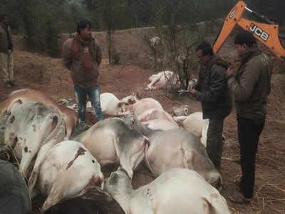 बिजली का तार गिरने से गायों की मौत