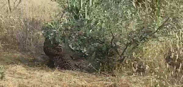 hyderabad nehru zoological park team trapped leopard in nalgonda