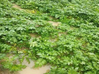 आलू के खेतों में भरा हुआ बारिश का पानी
