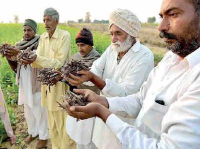 खेतों में मरे पड़े मिले टिड्डों को दिखाते राजस्थान के किसान