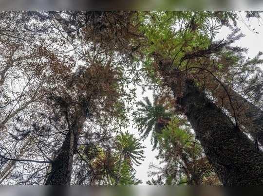 ऑस्ट्रेलियातील दुर्मिळ झाडांना वाचवण्यात यश