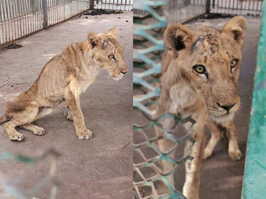lion sudan