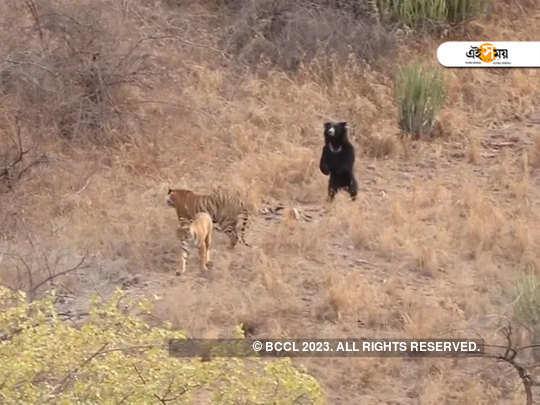 Sloth bear scares away 2 tigers at Ranthambore National Park