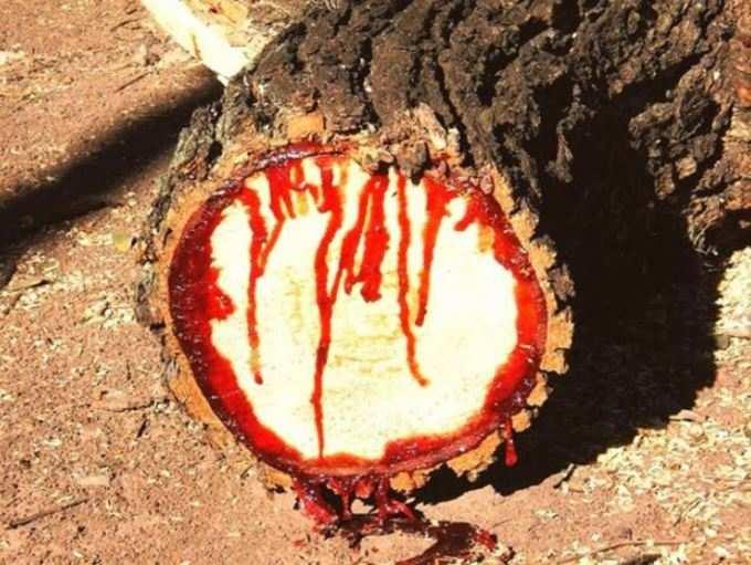 સાઉથ આફ્રિકામાં થાય છે વૃક્ષ