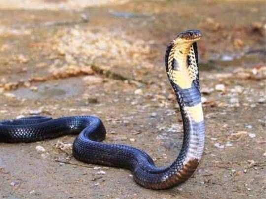 auspicious sign of snake in shakun shastra - I am Gujarat