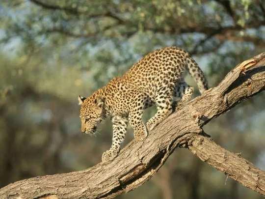 wayanad leopard new