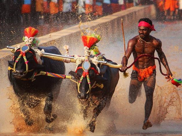 कीचड़ से भरे ट्रैक पर भैसों की दौड़, 'कंबाला जॉकी' श्रीनिवास गौड़ा ने तोड़ा उसैन बोल्ट का रेकॉर्ड!