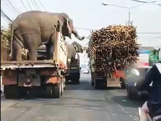 elephant theft viral