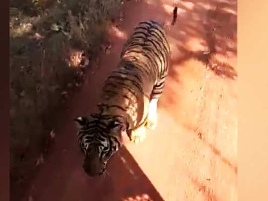 Tiger chase