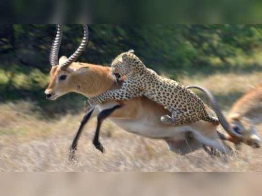 leopard killed deer