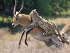 cheetah killed deer in tirupati hill way
