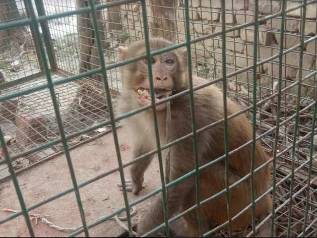 बंदर के मुंह पर बांधी प्लास्टिक की रस्सी, 4 दिन बाद बेजुबान को मिली आजादी तो उछल पड़ा