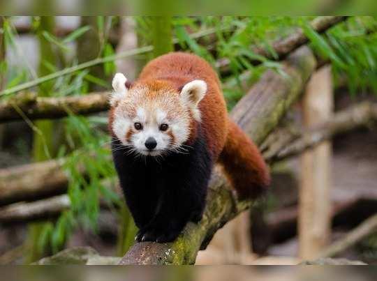red-panda-1182069_1280