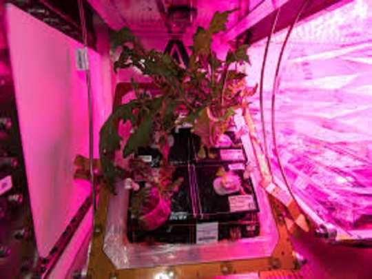 lettuce grown in space iss by nasa astronauts nutritious than earth