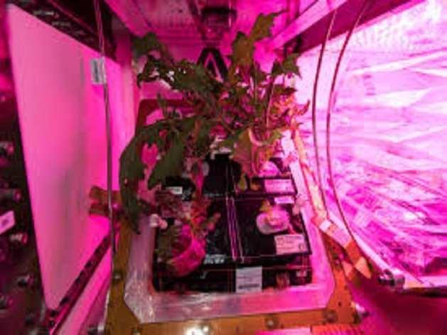 NASA ने अंतरिक्ष में उगाई सब्जी, देखें तस्वीरें