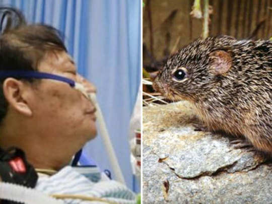 what is hantavirus and its symptoms, all you need to know about infection