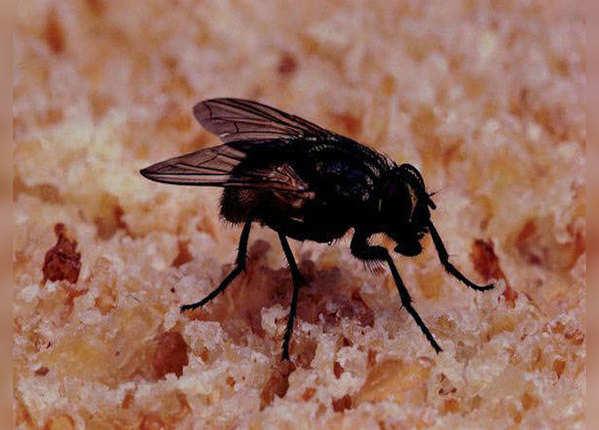 मच्छर-मक्खी और कोरोना