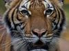 इंसान से जानवरों में कोरोना संक्रमण का पहला मामला, न्यूयॉर्क के चिड़ियाघर में टाइगर संक्रमित