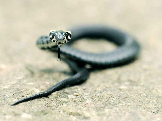 grass-snake-3021191_1920