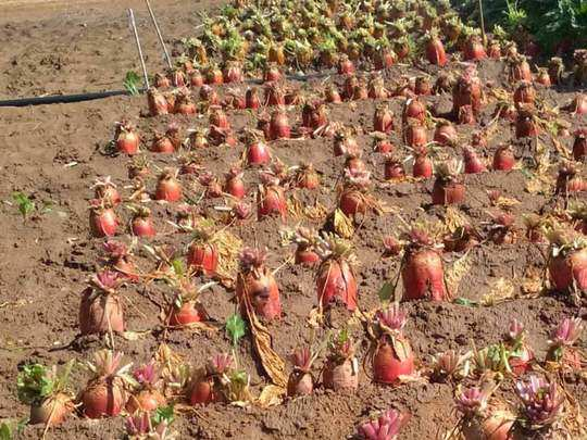 beetroot can now be cultivated in baron land, cost only 50 paise