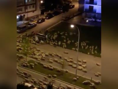 समसुन शहर में सड़कों पर घूमतीं भेड़ें