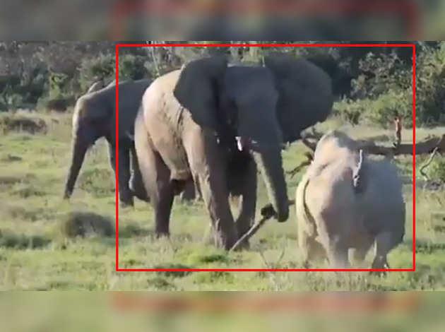 देखें: हाथी ने पेड़ की डाली से डराकर की गैंडे को भगाने की कोशिश