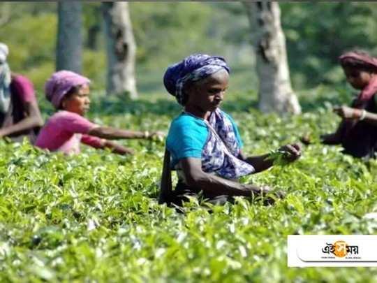 tea garden workers are happy with ockdown