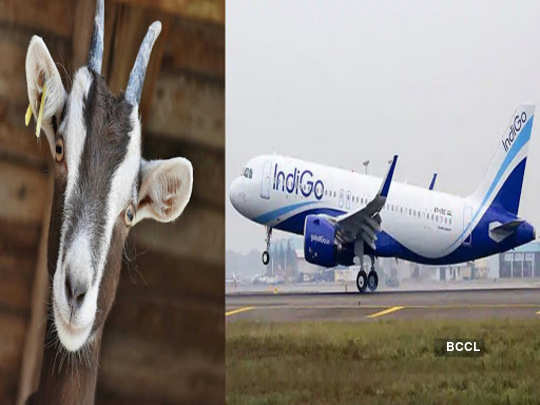 sold goats for air tickets