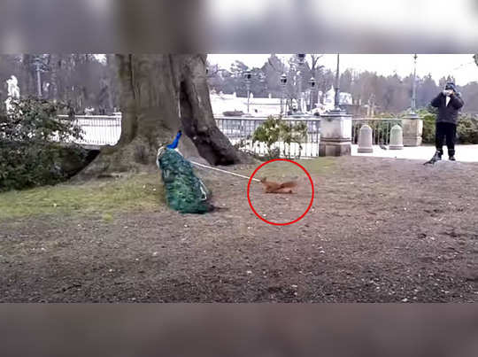 Peacock and squirrel